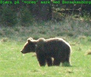 Bjørn på marken ved huset. Her zoomet ind fra 80 meters afstand.