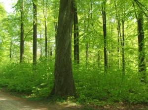 Bøgeskov i 3 aldre på det samme skovareal.