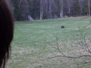 Bjørn på marken ved huset den 23 maj 2012. 80 meter til den.